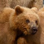 В Самаре на автостоянке нашли голодных и больных медведей в клетках