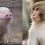 В Китае родились первые в мире гибриды обезьян и свиней